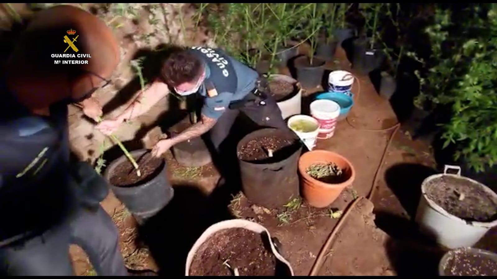 Desmantelan una plantación de marihuana en La Higuera, San Mateo